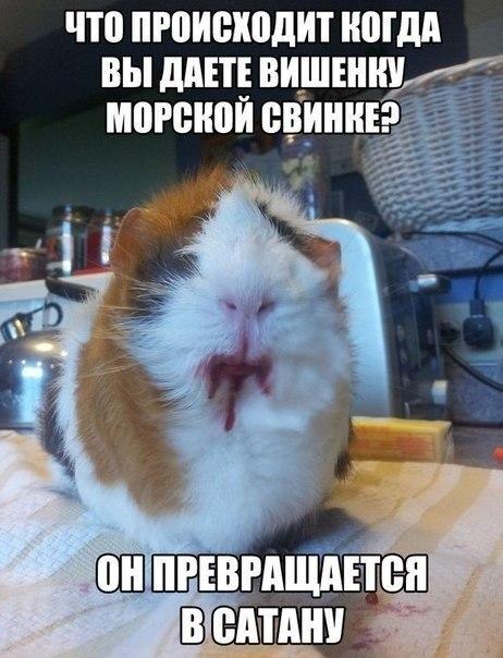 Морская свинка + вишенка = САТАНА